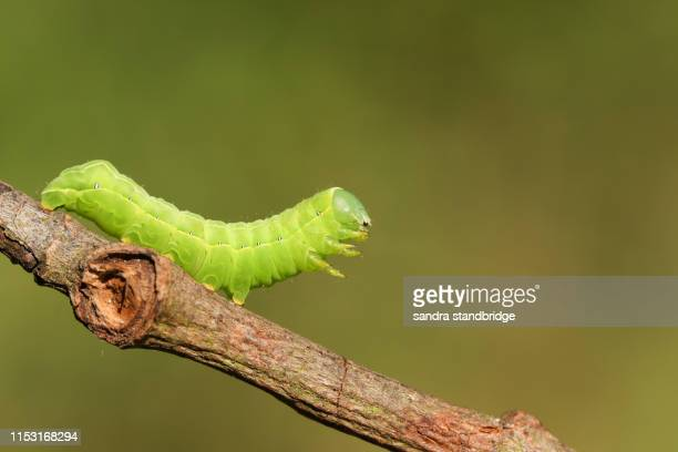 a pretty sprawler moth caterpillar, asteroscopus sphinx, walking along a twig at the edge of woodland. - caterpillar stock pictures, royalty-free photos & images