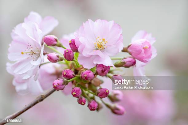 pretty spring, pink cherry blossom flowers of prunus 'accolade' japanese flowering cherry tree - blossom stock pictures, royalty-free photos & images