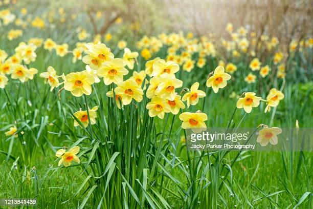 pretty spring, yellow daffodil flowers in soft sunshine also known as narcissus - fragility stock pictures, royalty-free photos & images