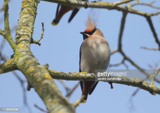 a pretty waxwing (bombycilla garrulus) perching on a branch in a tree. a winter visitor to the united kingdom. - hertford hertfordshire stockfoto's en -beelden