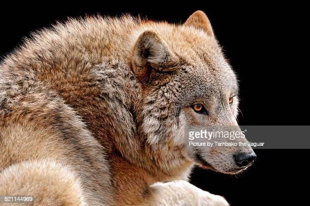 sun wolves ストックフォトと画像 getty images
