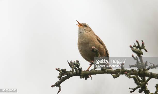 a pretty wren (troglodytes troglodytes) perched on a branch in a tree singing. - zangvogel stockfoto's en -beelden