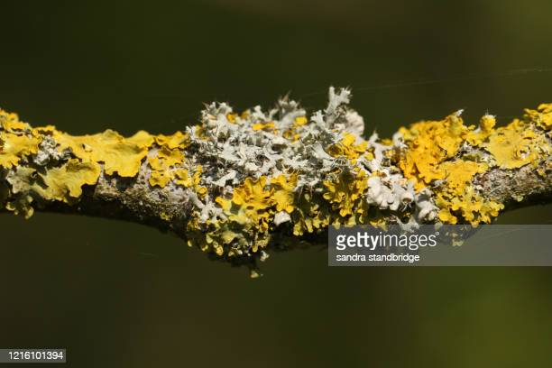 pretty yellow and green lichen growing on a branch of a tree in the uk in spring. - parasite stock pictures, royalty-free photos & images