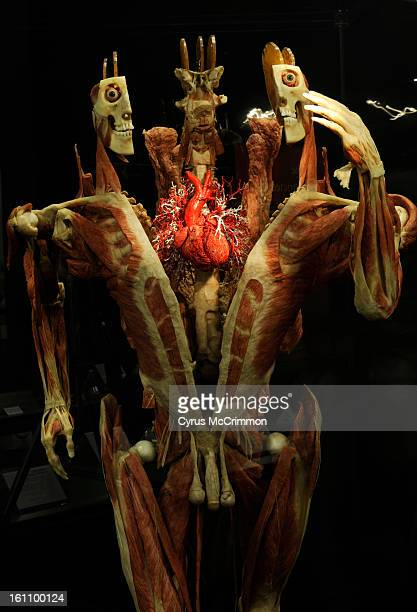 Preview of the new Body Worlds exhibit that will open at the Denver Museum of Nature and Science Visit on Tuesday March 9 2010 Cyrus McCrimmon The...