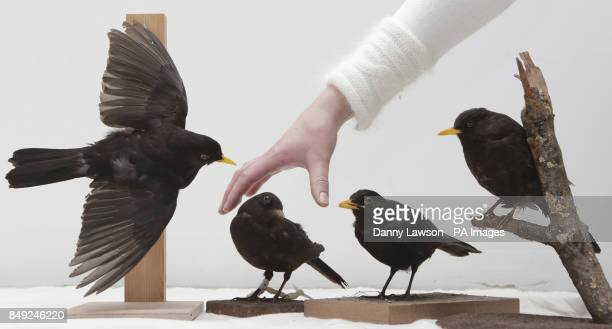 Previously unissued photo dated 18/12/12 of four blackbirds pictured at the Glasgow Museum Resource Centre representing the Four Collie Birds during...