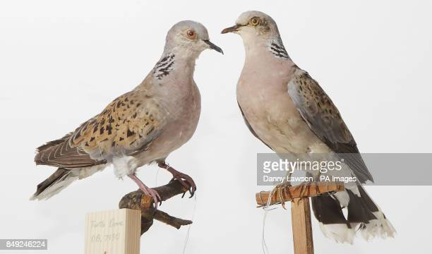 Previously unissued photo dated 18/12/12 of two turtle doves pictured at the Glasgow Museum Resource Centre representing the Two Turtle Doves during...