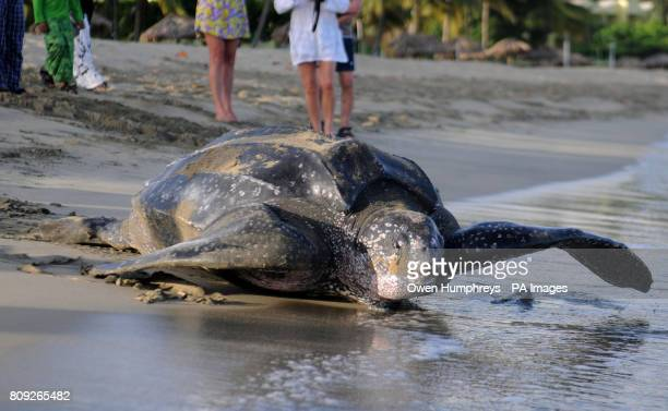 Previously unreleased photo of a Leatherback sea turtle the worlds largest turtle giving a member of the Turtle patrol in Tobago the rare chance to...