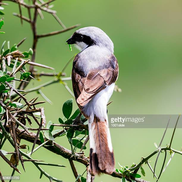 preying - grey backed fiscal shrike (lanius excubitoroides) with worm - wader bird stock photos and pictures