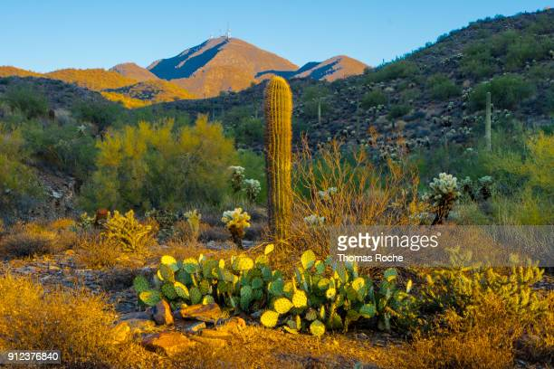Prickly pear and saguaro in morning desert light