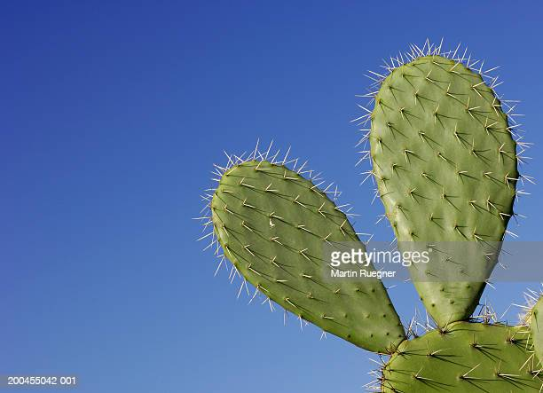 Prickly pear cactus (Opuntia sp.) against blue sky