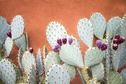 Prickly Pear Cactus Against Brown Adobe Wall 519012219