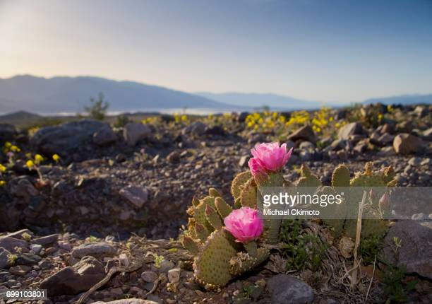 prickly pear cactus blooms over death valley national park - prickly pear cactus stock photos and pictures