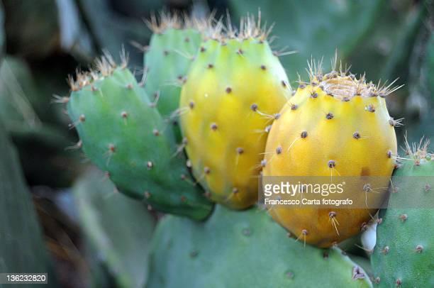prickly pear cactus - tempio pausania stock-fotos und bilder