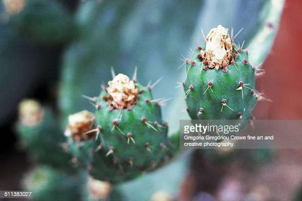 prickly pear cactus - gregoria gregoriou crowe fine art and creative photography - fotografias e filmes do acervo