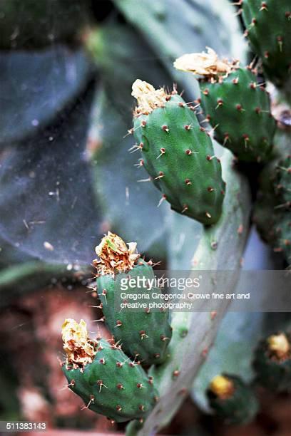 prickly pear cactus - gregoria gregoriou crowe fine art and creative photography 個照片及圖片檔