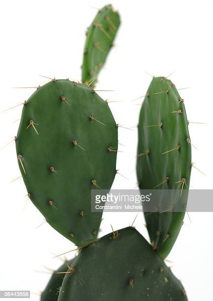 prickly pear cactus - cactus stock-fotos und bilder