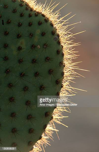 Prickly Pear Cactus, Plaza Sur, Galapagos Islands, Ecuador (Opuntia echios var. echios)