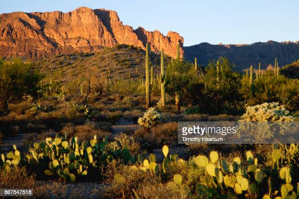 prickly pear, cholla and saguaro cacti with mountains and clear blue sky beyond - timothy hearsum stock-fotos und bilder