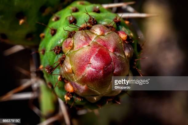 Prickly pear (nopal) flower on macro