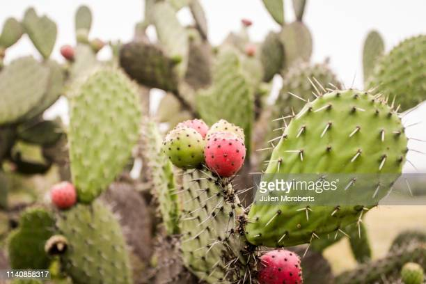 prickly pear - prickly pear cactus stock photos and pictures