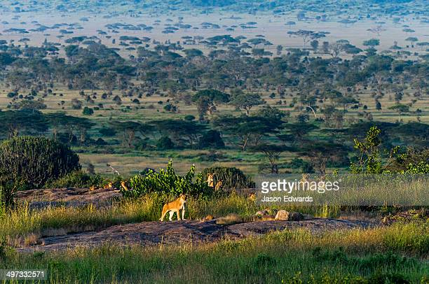 A pride of African Lions rest at dawn above a savannah woodland on a granite outcrop known as a kopje.