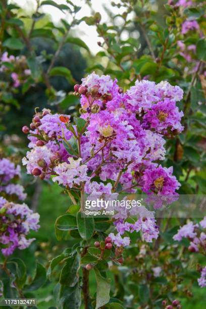 pride of india - crepe myrtle tree stock pictures, royalty-free photos & images