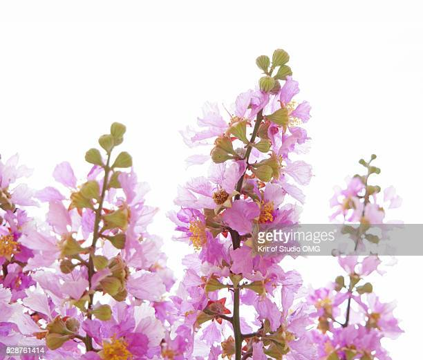 pride of india's flowers - crepe myrtle tree stock pictures, royalty-free photos & images