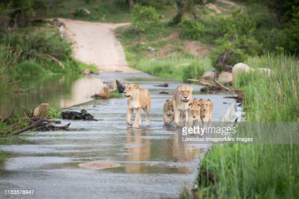 a pride of lions and cubs, panthera leo, cross the causeway of a river, looking out of frame, flanked by greenery - out of frame stock pictures, royalty-free photos & images