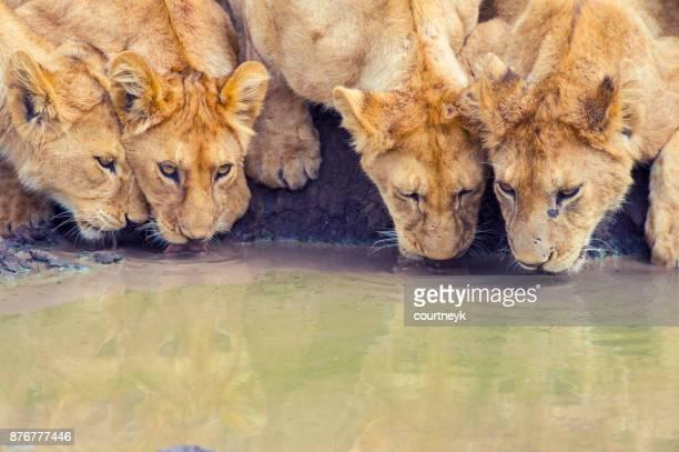 Trots van leeuwen drinken bij een waterput.