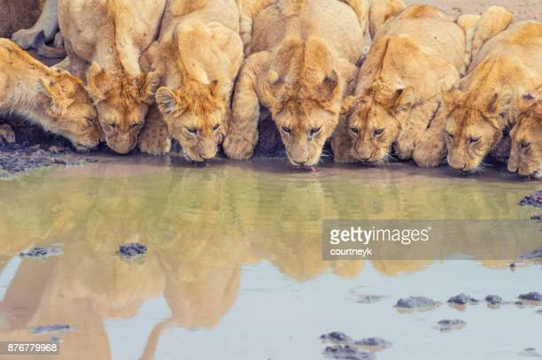 Pride of lions drinking at a waterhole.