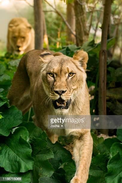 orgullo de los leones va a cazar - leones cazando fotografías e imágenes de stock