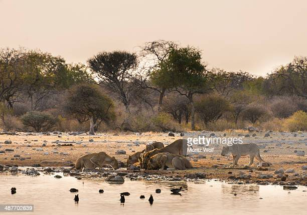 Pride of lions -Panthera leo- drinking at the Klein Namutoni waterhole, Etosha National Park, Namibia
