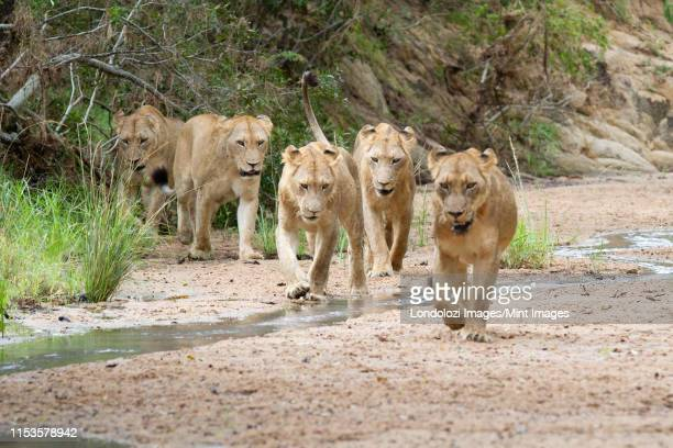 a pride of lions, panthera leo, walk in a river bed towards camera, looking out of frame, ears back - out of frame stock pictures, royalty-free photos & images