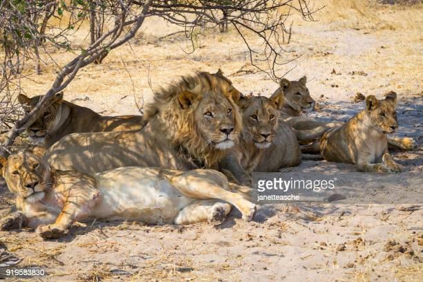 Pride of lions resting under a tree, Makgadikgadi Pans National Park, Botswana