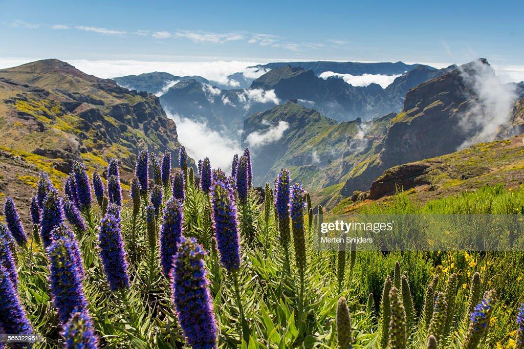 Pride of Madeira at Pico de Arieiro : Stock Photo