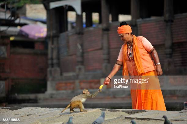 A priest giving Banana to Monkey at the premises of Pashupatinath Temple Kathmandu Nepal on Thursday August 24 2017