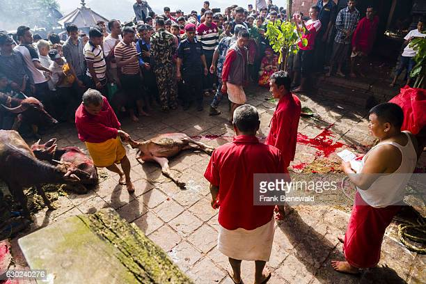 A priest is pulling the corpse of a dead water buffalo sacrificed to the gods at the Gorakhnath temple at the hinduist festival Darsain