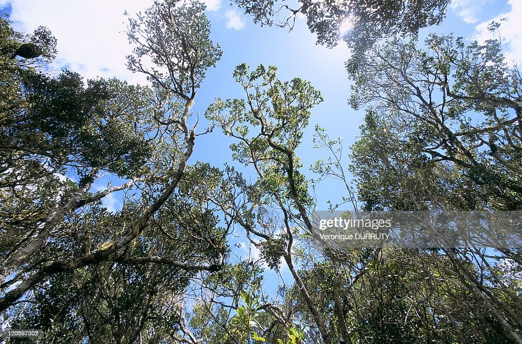 Primary Forest In Andasibe Mantadia National Park, Madagascar - : News Photo