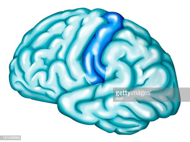 Primary Somatosensory Cortex The Primary Somatosensory Cortex Located At The Front Of The Parietal Lobe At The Level Of The Postcentral Gyrus...