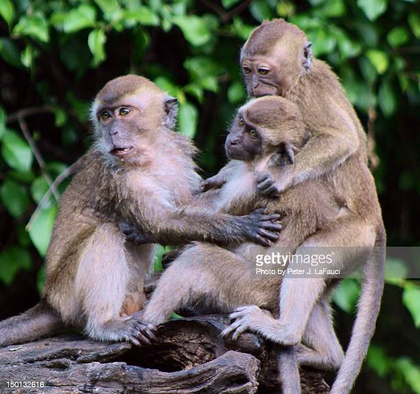 primate sibling rivelry - fauci stock pictures, royalty-free photos & images