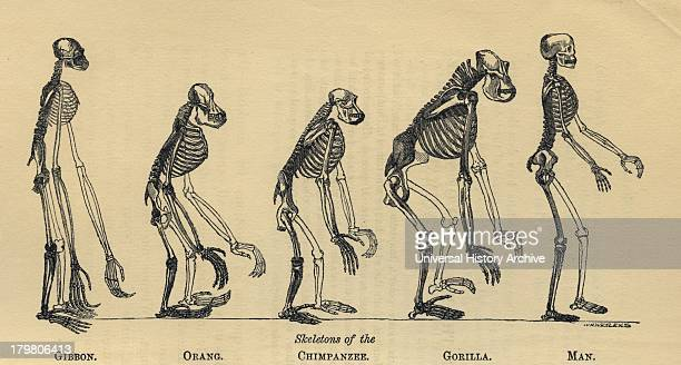 Primate skeltons from Gibbon left to Man Gibbon proportionally twice natural size