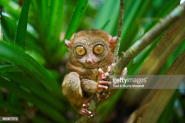primate tarsier at tarsier visitor center. - tarsier stock photos and pictures