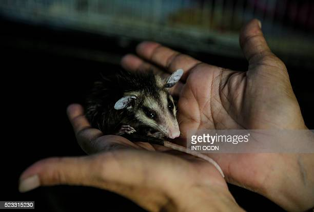 Primatologist Denise Lyons, who helps heal rescued orphan animals, holds an opossum at the National Zoo in Managua, 20 km southeast of the Nicaraguan...