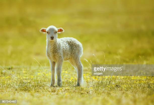 prime lamb on green grass