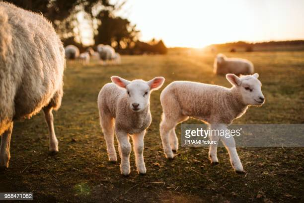 prime lambs on green grass - ovino foto e immagini stock
