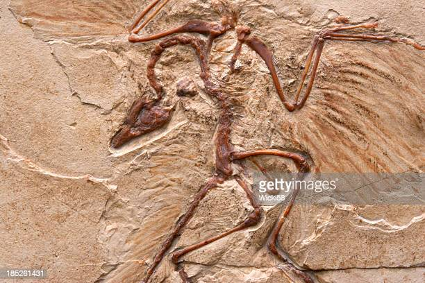 primeval bird - palaeontology stock pictures, royalty-free photos & images