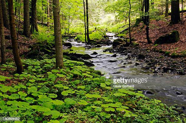 primeval forest in the vessertal valley, biosphaerenreservat vessertal-thueringer wald, biosphere reserve vesser valley-thuringian forest, thuringia, germany, europe - biosphere planet earth stock photos and pictures