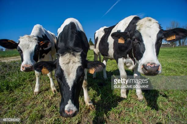 Prim'Holstein cows stand in a meadow of a dairy producer and breeder on March 18 in Perigne, eastern France. Thirty years after introducing quotas to...