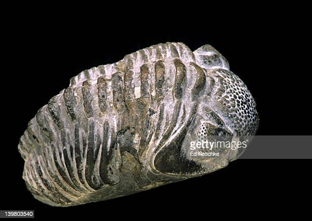 fossil trilobite. primitive marine arthropod.  paleozoic era, silurian-cambrium, 300-400 million years ago.  limestone quarry, illinois. - ed reschke photography photos et images de collection