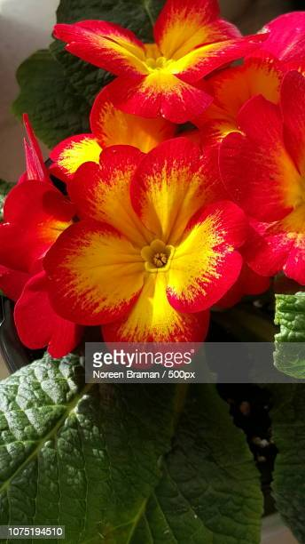 primrose 1 - noreen braman stock pictures, royalty-free photos & images